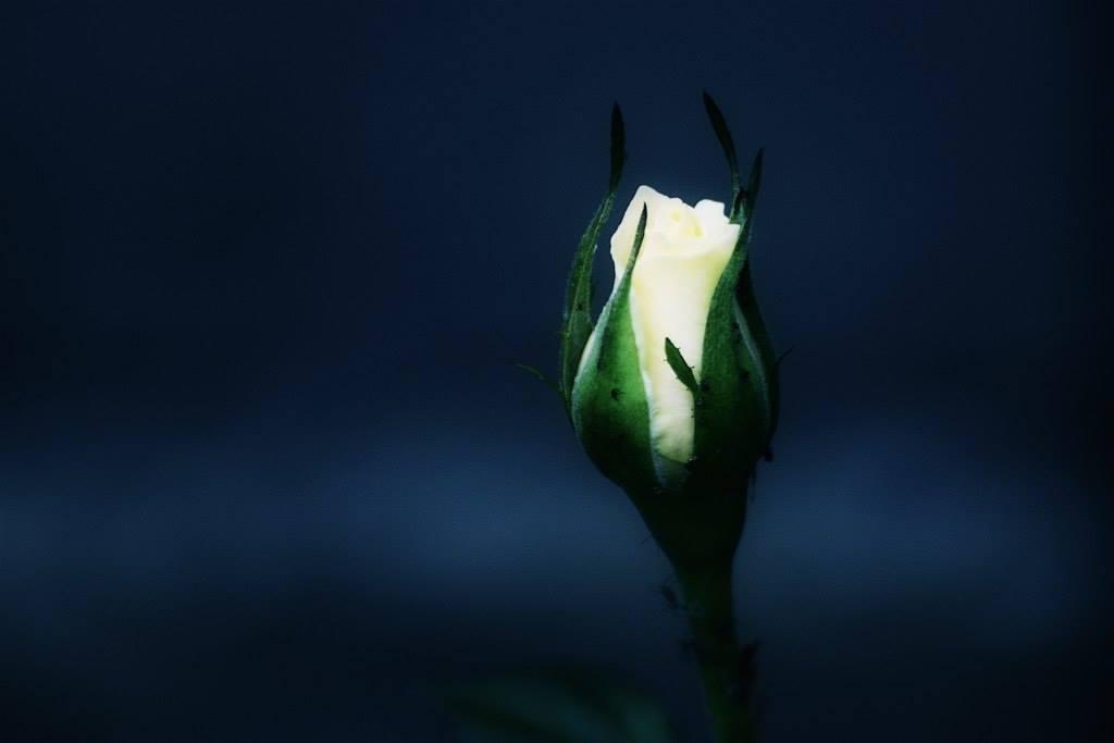 bloom waiting flower 1 1 李商隱《無題.其二》淒美的愛情古詩詞