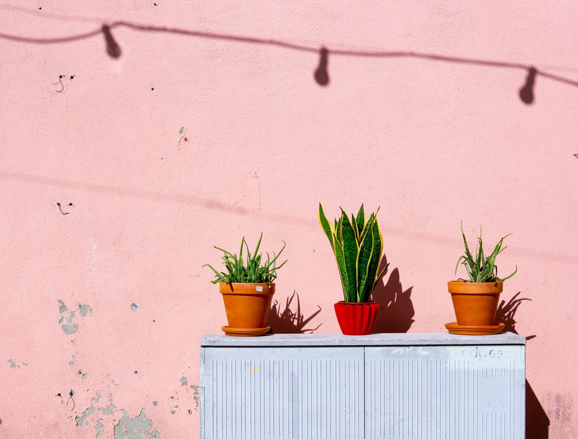 aloe vera bright flora sunny wall pink 我願意啊|日堯詩選